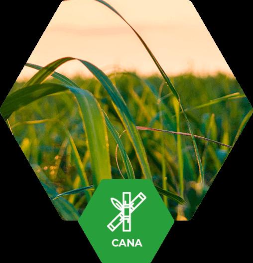 Cana-de-Açúcar no Brasil | Fertimacro