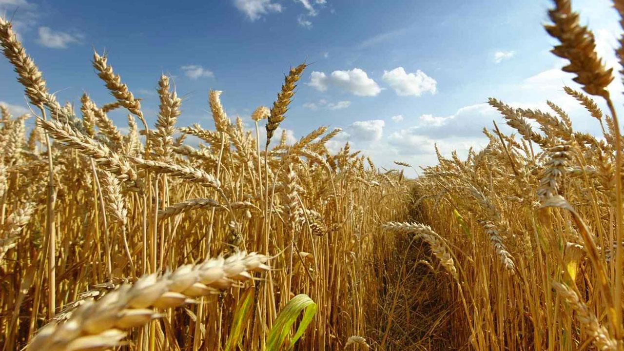 Avaliação do rendimento de grãos com o uso de Óxidos de Ca e Mg granulados em linha de plantio na cultura do trigo, safra 2020