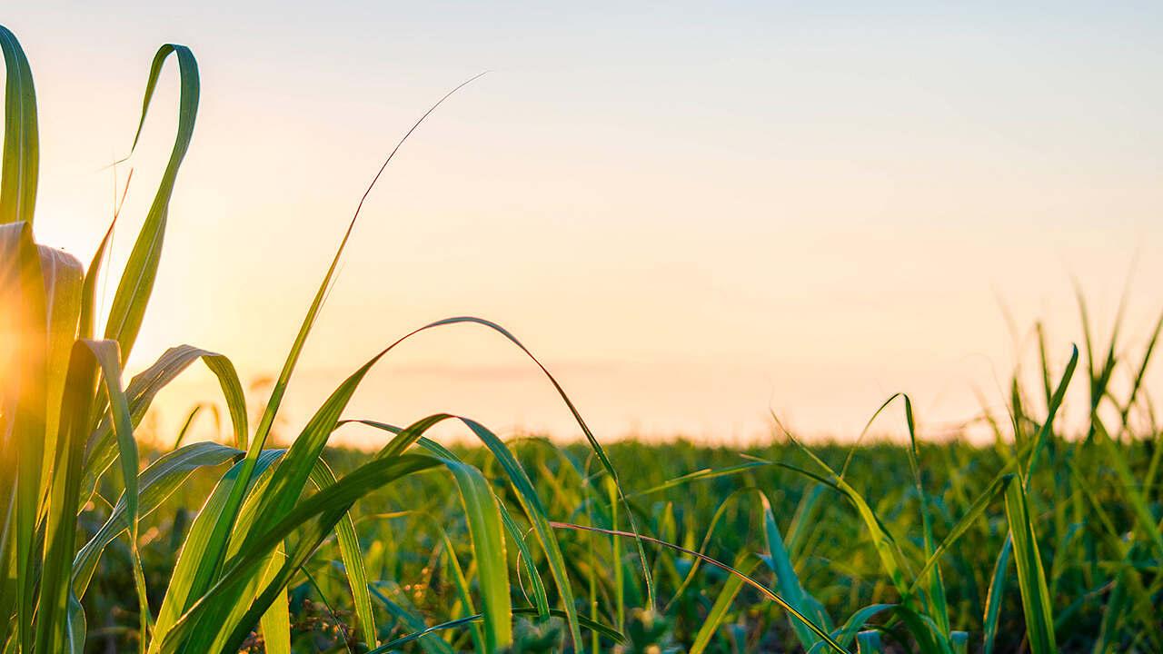 Produção de cana de açúcar aumenta 18%