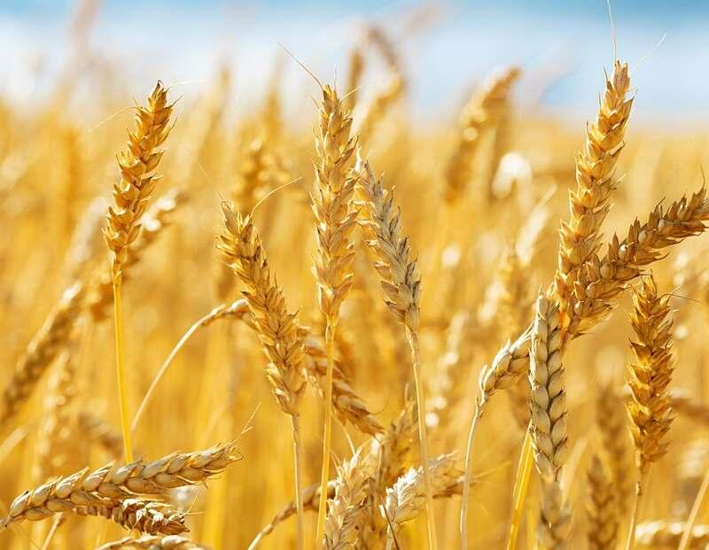 área de plantio de trigo