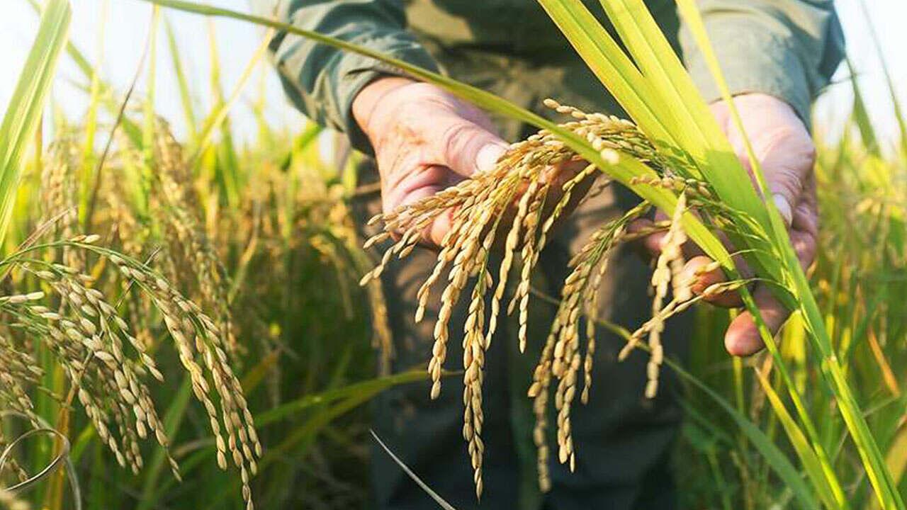 Saiba quais as expectativas da safra de arroz para 2021